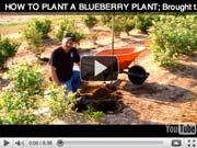 plant-blueberry.jpg